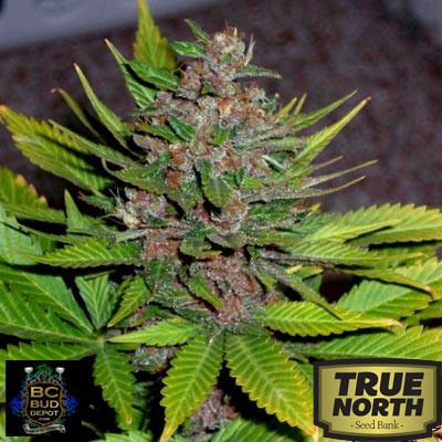 Blue Berry Regular Seeds (BC Bud Depot)