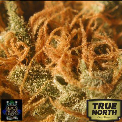 BC Cheese Regular Seeds (BC Bud Depot)