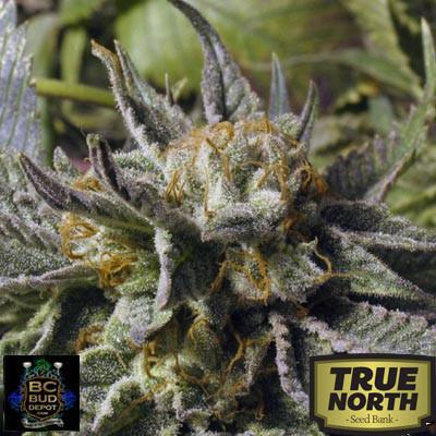 God Bud Feminized Seeds (BC Bud Depot)