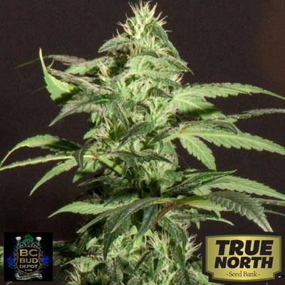 Jack Herer Regular Seeds (BC Bud Depot)