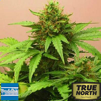 Red Dwarf Auto Feminized Seeds (Buddha Seeds)