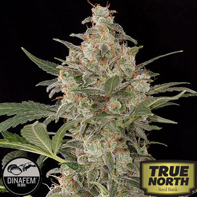 Critical Cheese Feminized Seeds (Dinafem)
