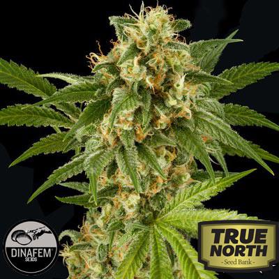 Kush-N-Cheese AUTO Feminized Seeds (Dinafem)