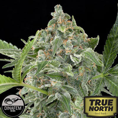 White Cheese Automatic Feminized Seeds (Dinafem)