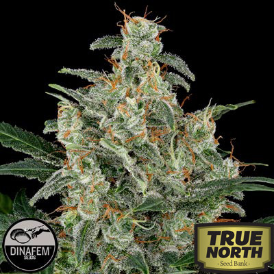 Cheese Automatic Feminized Seeds (Dinafem)