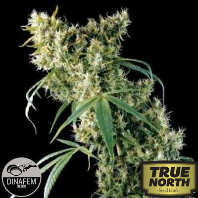 Super Silver Feminized Seeds (Dinafem)