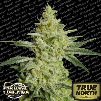 ALLKUSH formerly Sheherazade Feminized Seeds (Paradise Seeds)