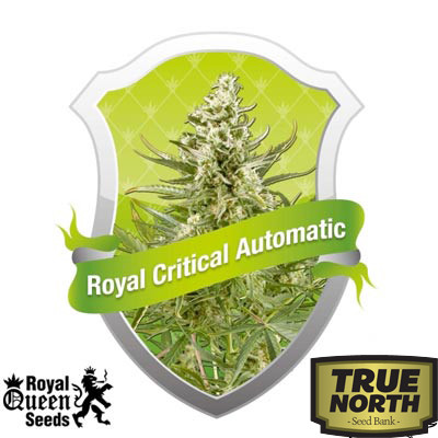 Royal Critical Automatic Feminized Seeds (Royal Queen Seeds)