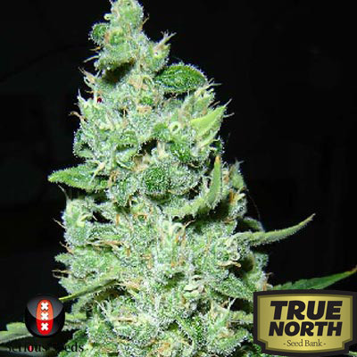 AK47 Regular Seeds (Serious Seeds)
