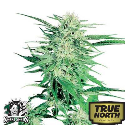 Big Bud Feminized Seeds (Sensi Seeds)