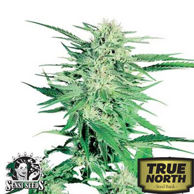Big Bud Regular Seeds (Sensi Seeds)