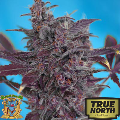Black Cream Auto Feminized Seeds (Sweet Seeds)