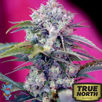 Cream Mandarine Auto Feminized Seeds (Sweet Seeds)