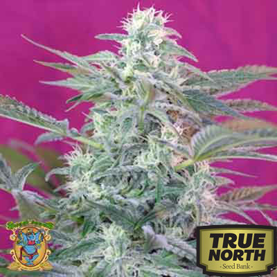 Big Foot Feminized Seeds (Sweet Seeds)