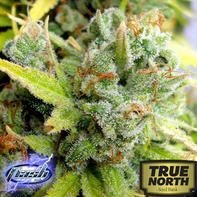 Cobra Autoflowering Regular Seeds - 8 (Flash Seeds)