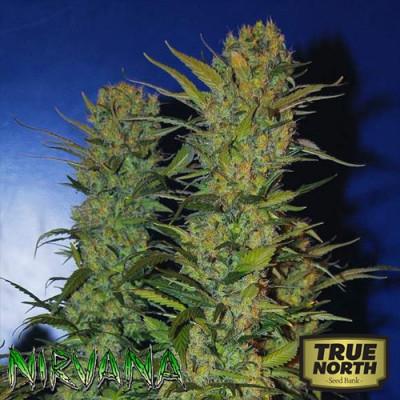 AK48 REGULAR Seeds (Nirvana Seeds)