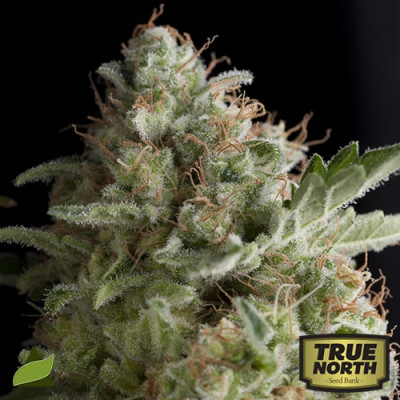 American Pie FEMINIZED Seeds (Pyramid Seeds)