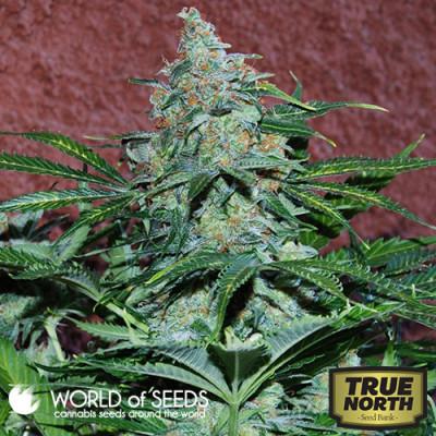 Amnesia Autoflowering Feminized Seeds (World of Seeds)