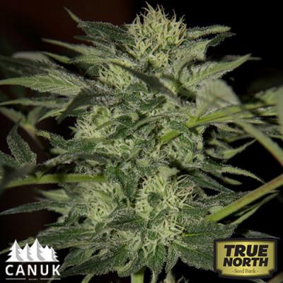 Auto Blueberry Feminized Seeds (Canuk Seeds)