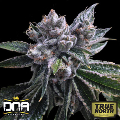 Auto El Fuego Feminized Seeds (DNA Genetics)