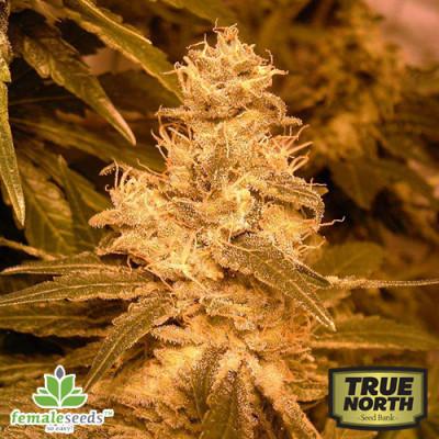Auto Kush Feminized Seeds (Female Seeds)