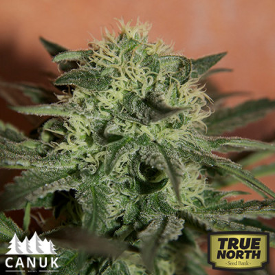 Auto Lemon Skunk Feminized Seeds (Canuk Seeds)