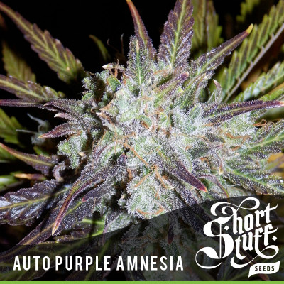 AUTO Purple Amnesia FEMINIZED Seeds (Shortstuff Seeds)