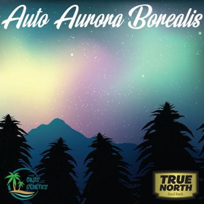 Auto Aurora Borealis Feminized Seeds (Oasis Genetics)
