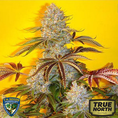 Automatic Bubble Gum Feminized Seeds (THSeeds)