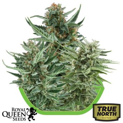 Autoflowering Mix Feminized Seeds (Royal Queen Seeds)