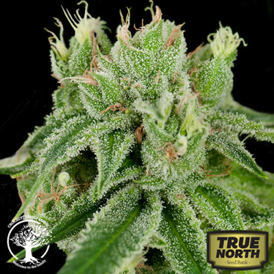 Banana Split Regular Seeds (Crockett Family Farms) (Seeds)