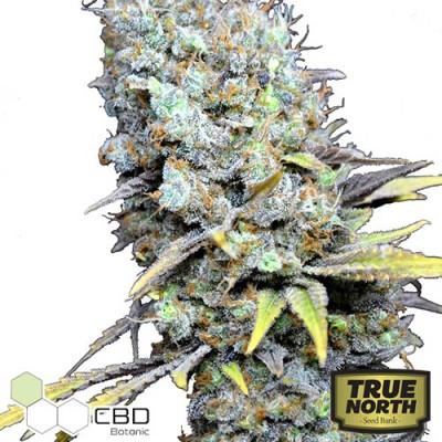 CBD Big Bud Super Skunk Feminized Seeds (CBD Botanic)