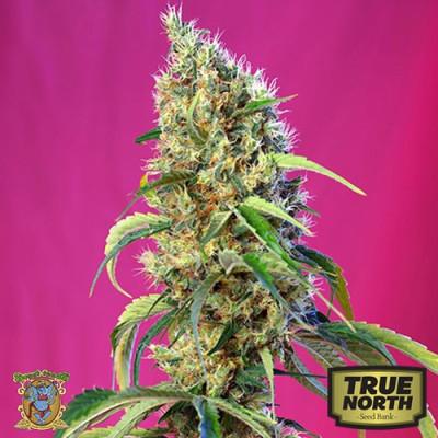 Black Jack CBD Feminized Seeds (Sweet Seeds)