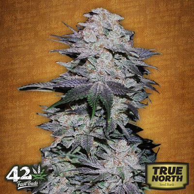 Blackberry Auto Feminized Seeds (FastBuds)