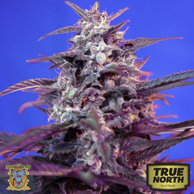Bloody Skunk AUTO Feminized Seeds (Sweet Seeds)