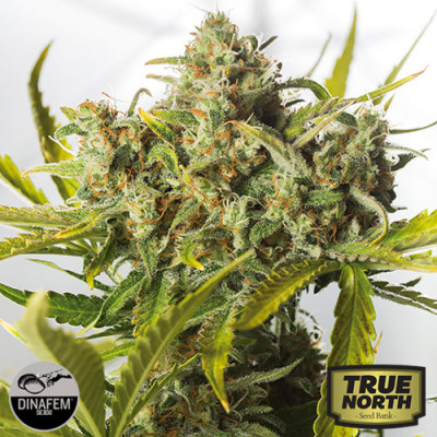 Blue Critical Autoflowering Feminized Seeds (Dinafem)
