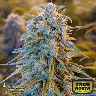 Blue Dream Feminized Seeds (Humboldt Seed Org)