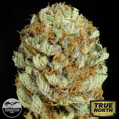 Blue Kush Feminized Seeds (Dinafem)