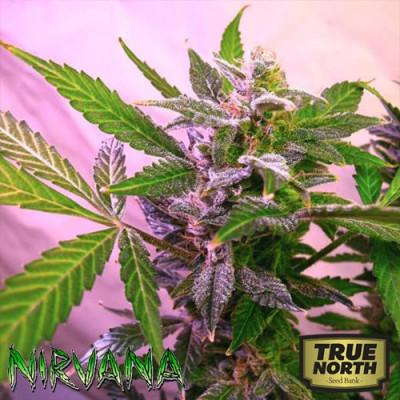 Blue Mystic FEMINIZED Seeds (Nirvana Seeds)