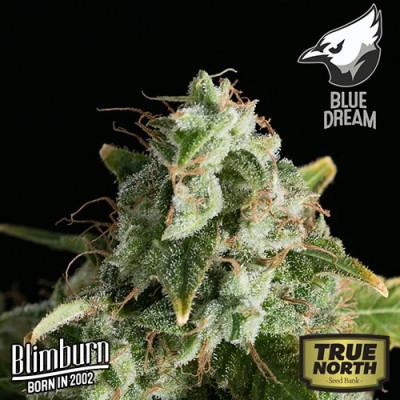 Blue Dream FEMINIZED Seeds (BlimBurn Seeds)