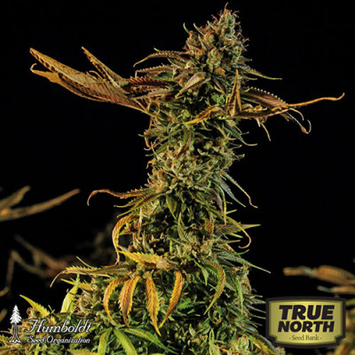 Blueberry Headband Feminized Seeds (Humboldt Seed Org)