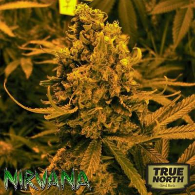 Blueberry Kush AUTO FEMINIZED Seeds (Nirvana Seeds)