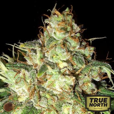 Bubba Cheese AUTO FEM Seeds (Emerald Triangle)