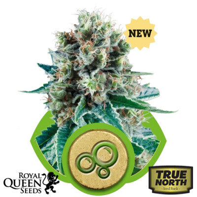Bubble Kush AUTO Feminized Seeds (Royal Queen Seeds)