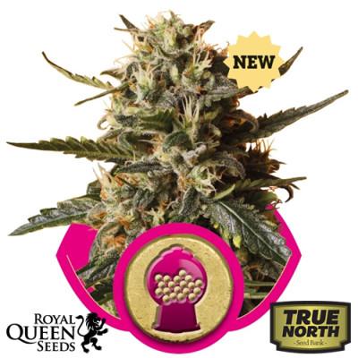 Bubblegum XL Feminized Seeds (Royal Queen Seeds)