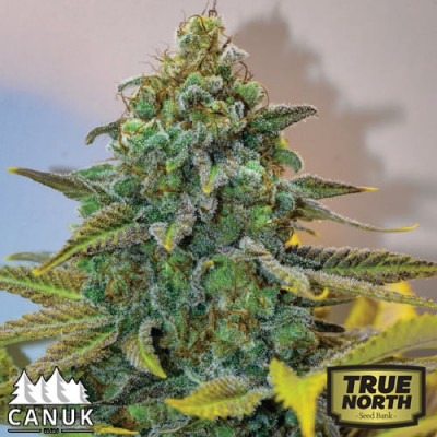 Cinderella 99 Feminized Seeds (Canuk Seeds)