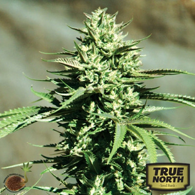 California Wildfire REGULAR Seeds (Emerald Triangle)