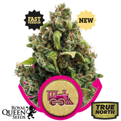 Candy Kush Express FAST Feminized Seeds (Royal Queen Seeds)