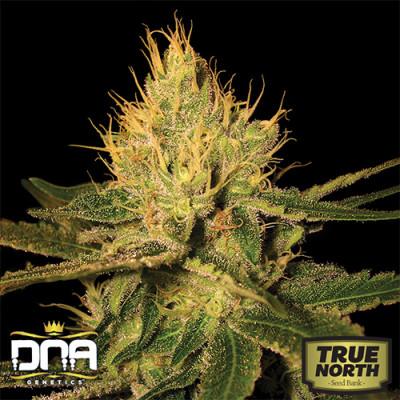 Cannalope Haze Feminized Seeds (DNA Genetics)
