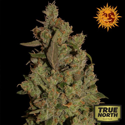 CBD Critical Cure Feminized Seeds (Barney's Farm)